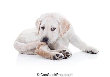 Funny Labrador retriever puppy dog chewing tail