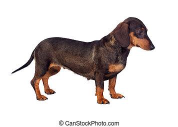Funny dog teckel isolated on white background