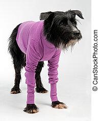 Funny dog wearing sweater isolated on white background