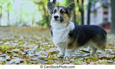 funny dog Welsh Corgi Pembroke breed standing outdoors in park on the ground covering by falled yellow foliage