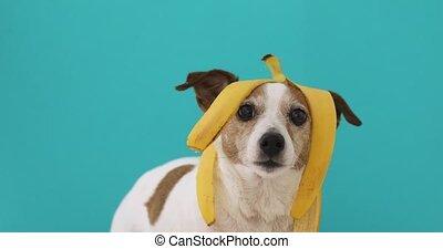 Funny dog with banana peel on his head portrait - Funny Jack...