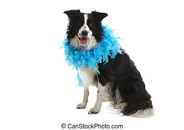 Funny dog with blue feather boa on white background