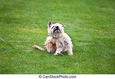 funny scratching dog with fleas on grass