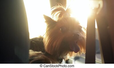 Funny dog Yorkshire Terrier enjoying a drive on bright, sunny day.