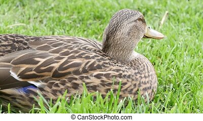 Funny duck on fresh green juicy grass in natural habitat. Curious waterflow bird in wild nature among greenery. Cute waterbird in wilderness.