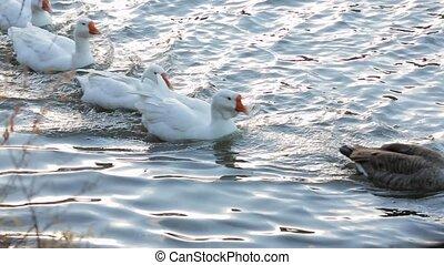 Funny Ducks Swimming In Lake In A Row