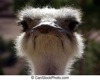 Curious ostrich close up
