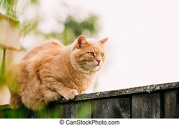 Funny Fat Red Cat Sitting On Fence
