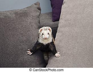 Funny ferret