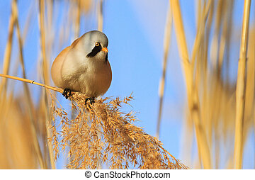 funny fluffy bird sitting on a reed