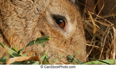 Funny fluffy brown rabbit eating green grass in cage close up view