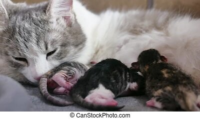 Funny fold cats. cat and kittens. cat feeds newborn kittens....