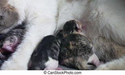 Funny fold cats. cat and kittens. cat feeds newborn kittens....