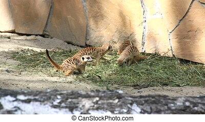 Funny Games meerkats adolescents.