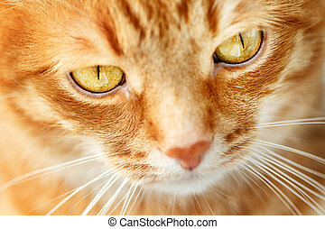 Funny ginger cat`s face close-up, selective focus
