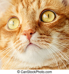 Funny ginger cat`s surprised face close-up