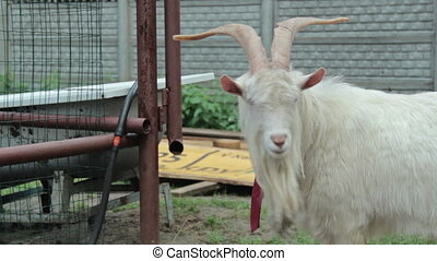 Funny goat HD - Funny goat with tie, HD