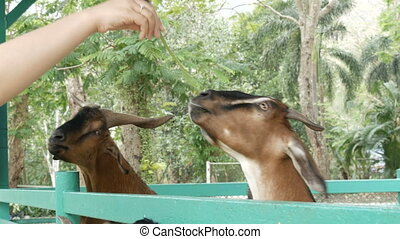 Funny goats eat grass directly from hands - Funny goats eat...