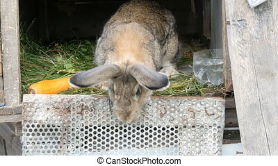 Funny gray big rabbit looks around in an open cage near big...
