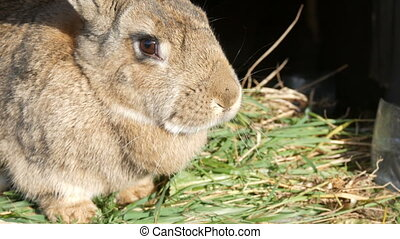 Funny gray big rabbit looks around in open cage - Funny gray...