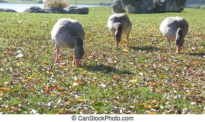 Funny gray geese eat grass in the yard in early autumn. Fallen leaves on green grass