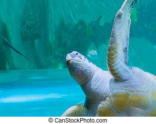 funny green or loggerhead turtle swimming by and saying hello with a angry expression on his face