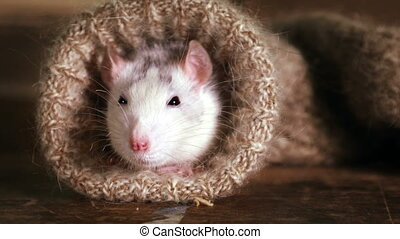 Funny grey-and-white rat peeks out of a wool sock and ...