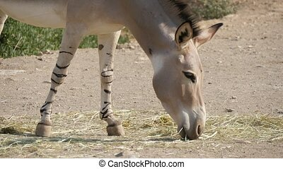 Cheerful view of a small grey donkey grazing ripe straw in a large countryside area on a sunny day in summer. It looks, cheerful, active and full of energy.