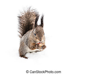 funny grey squirrel sitting in snow cracking nut on snow background