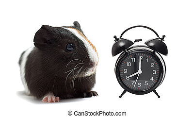 funny guinea pig and Up Service