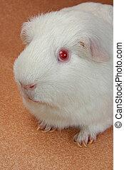 funny guinea pig closeup shot