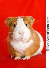 funny guinea pig face