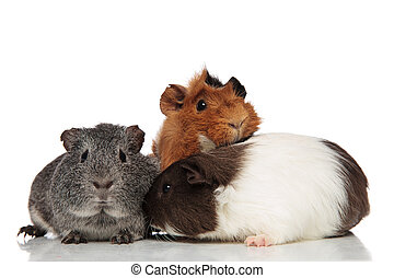 funny guinea pig friends playing together