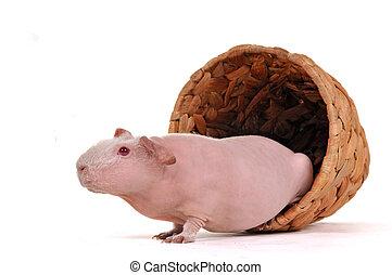 Guinea Pig in a pot