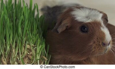 Guinea pigs breed Golden American Crested eat germinated...