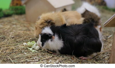 Funny guinea pigs in zoo