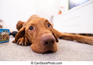 Funny head of hungarian vizsla dog in living room