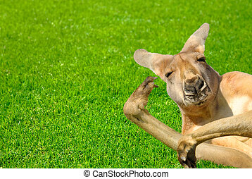 Funny human looking kangaroo on a lawn - Humor shot of a...
