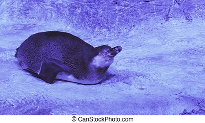 Funny Humboldt penguin trying to get to sleep stock footage video
