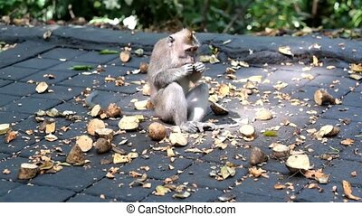funny hungry monkey eating fruits. Cute monkeys lives in...