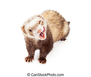 Funny Hungry Pet Ferret on White