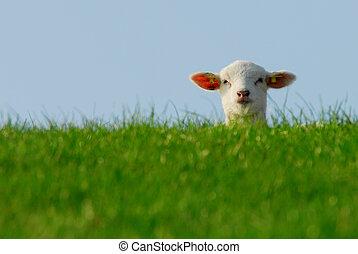 cute lamb in spring - funny image of a cute lamb in spring