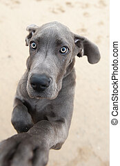 funny image of a great Dane puppy