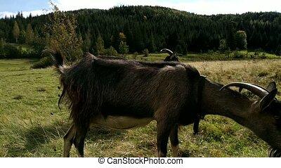 Funny inquisitive goats. Grazing cow. Green meadow. Wild mountain terrain.