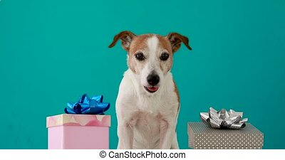 Funny jack russell terrier stands between coloured birthday boxes with ribbon bows on turquoise background close view