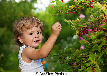 funny kid picking up red currants from currant bush and ...