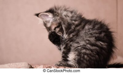 Funny kitten licks paw and washes - Funny Maine coon cat...