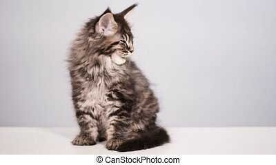 Funny kitten on gray background - Funny Maine coon cat licks...