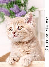 Funny kitten. Scottish fold cat. Baby animal portrait