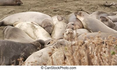 Funny lazy elephant seals on sandy pacific ocean beach in San Simeon, California, USA. Awkward fat mirounga earless sea lions with unusual proboscis roaring. Alpha male playful reproductive behavior.